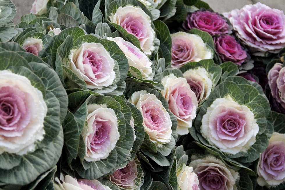 Decorative cabbage at Detroit's Eastern Market | Detroit, Michigan