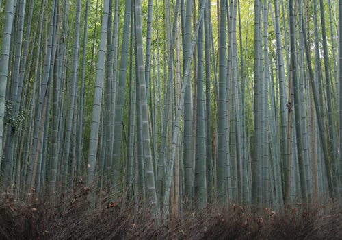 Bamboo Forest | Kyoto, Japan