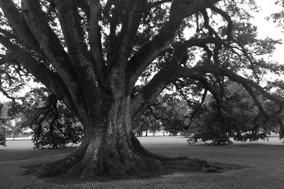 One of the twenty-eight 300 year old oak trees | Vacherie, Louisiana