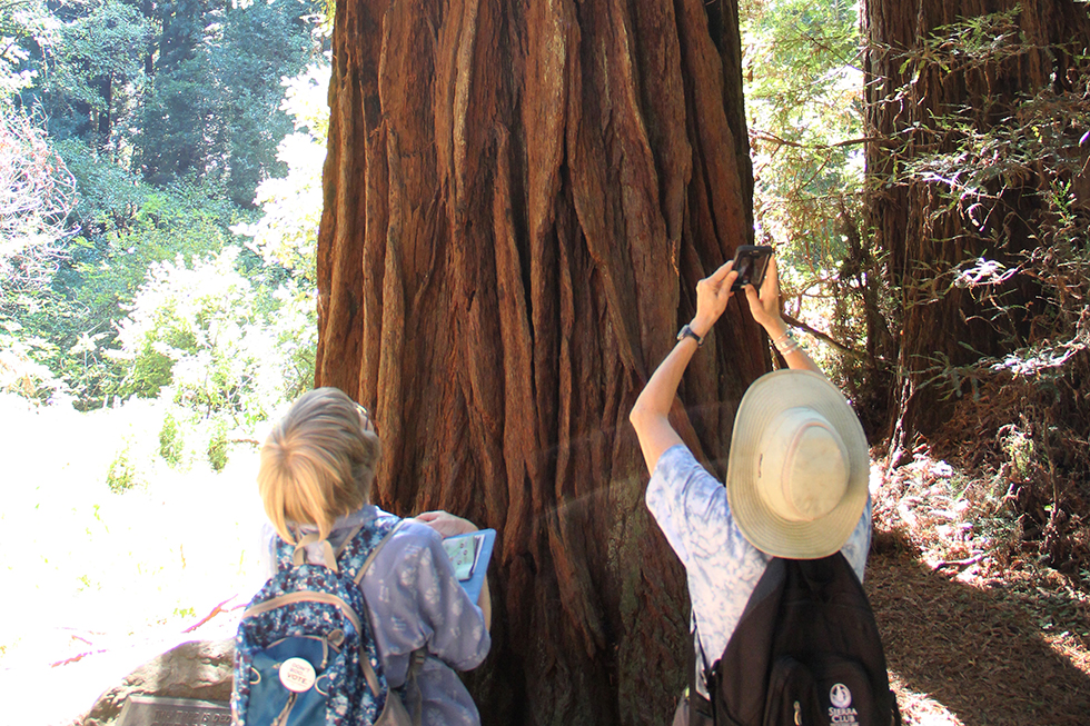 Redwoods of Muir Woods National Monument